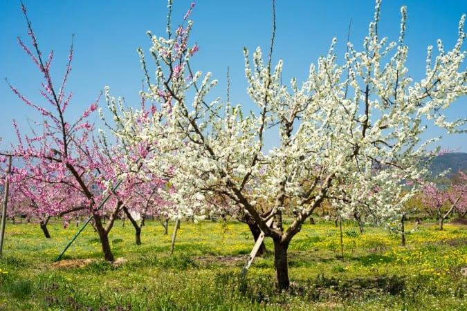 Salinger's Orchard