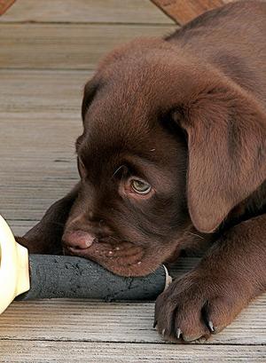 puppy300